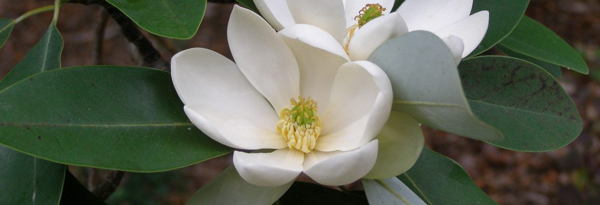 Sweetbay Magnolia Blossom, an Eastern Shore Native